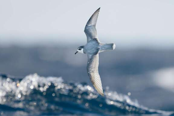A blue petrel is one of many seabirds that eats plastic and is drawn to the waste because of its odor, according to new research out of UC Davis.
