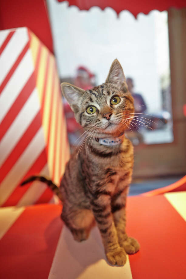 Adoptable animals will again come to the Macy's windows in San Francisco this holiday season. (Credit: Rob Schroeder / Courtesy of Macy's and the SF SPCA) / Robert J. Schroeder Photography(C)2013