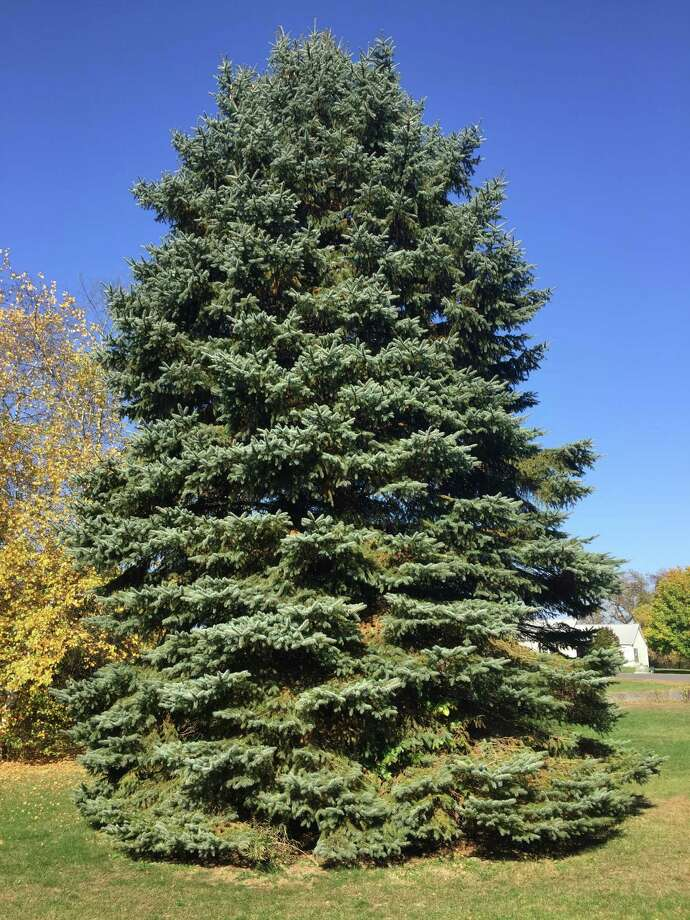 This 45-foot tall Colorado blue spruce tree that Mike and Vinessa Bowman planted in front of their Claverack, Columbia County home in 1994, was donated by the Bowmans and will be cut Monday and trucked to the Empire State Plaza as the state's official holiday tree (Photo courtesy of Mike Bowman)