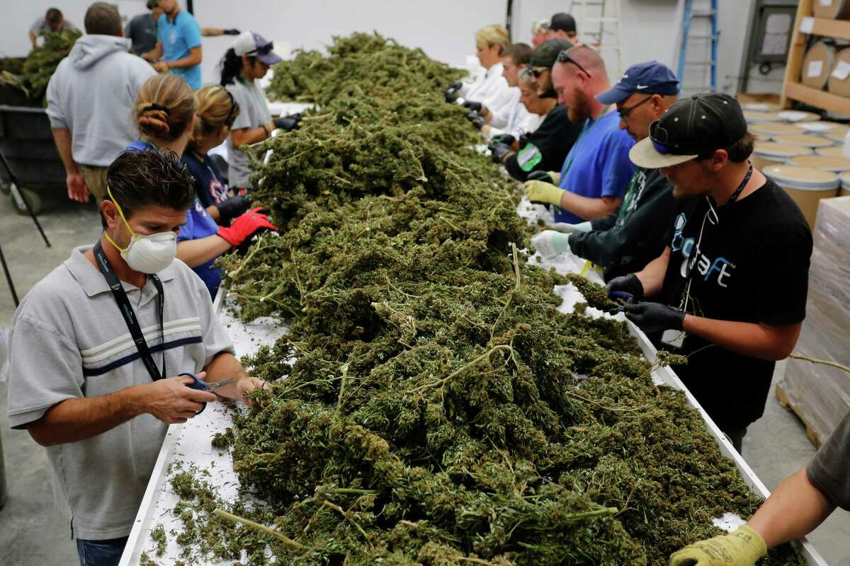 In this Oct. 4, 2016 photo, farmworkers remove stems and leaves from newly-harvested marijuana plants, at Los Suenos Farms, America's largest legal open air marijuana farm, in Avondale, southern Colo. For the fall 2016 harvest, the farm's 36-acres are expected to yield 5 to 6 tons. (AP Photo/Brennan Linsley) ORG XMIT: COBL508