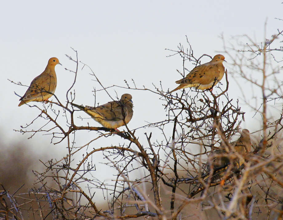 Recent changes in federal rules, effective for the 2018-19 season, will allow the general dove season in Texas' South Dove Zone to open as early as Sept. 14, as much as a week or so earlier than under current rules. Photo: Shannon Tompkins