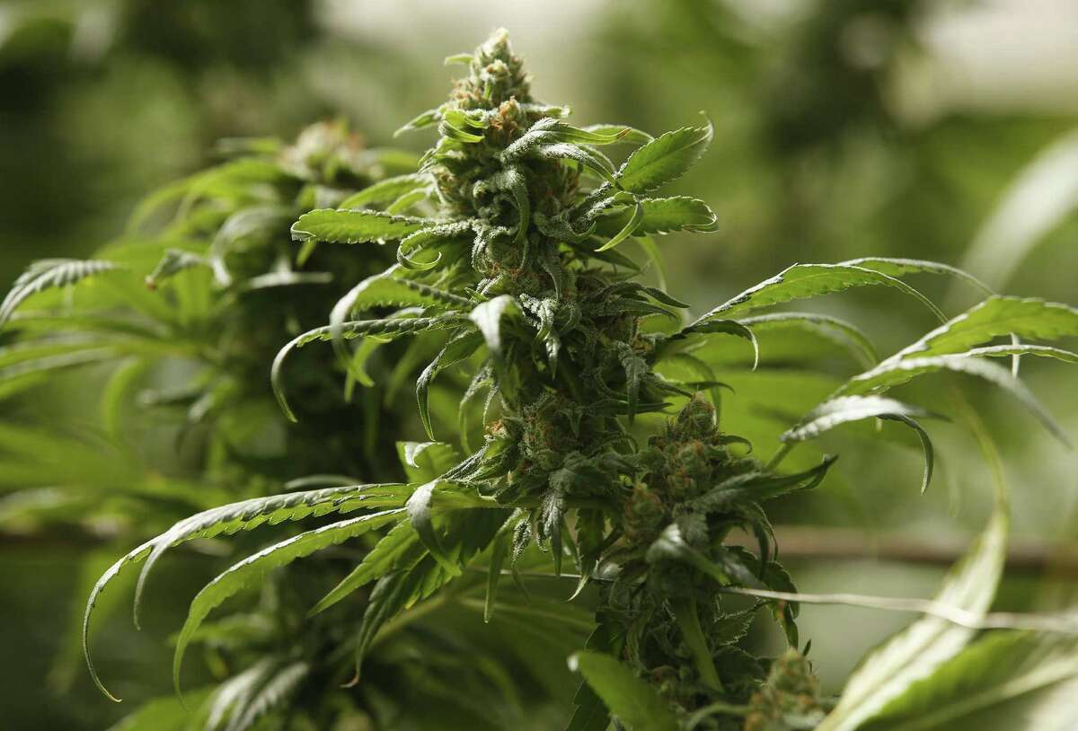 The buds on marijuana plants begin to mature in a legal, commercial growing greenhouse in Monterey County, Calif. where it is legal for adults to possess, transport and buy up to an ounce of marijuana. Massachusetts residents voted on Tuesday to legalize recreational marijuana.