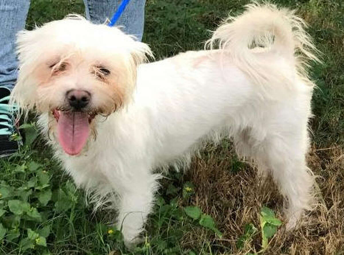 Sasha, a Maltese-mix girl, is spayed, up-to-date on her shots and heartworm negative. The two-year-old likes to ride in a car and walks well on a leash. She is adoptable from Animal Rescue Kingdom, 2611 Charles Lane, Sugar Land. Email animalrescuekingdom@gmail.com for more information or visit awos.petfinder.com or call 832-267-5777.