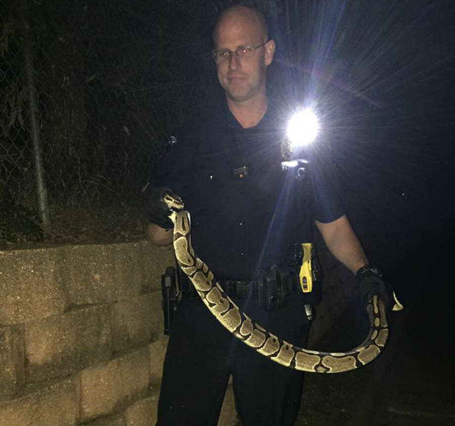 Officer Joshua Altimus rescued this 4-foot python outside a Toys R Us in Arlington, Saturday evening, Nov. 12, 2016. A representative from a rescue center came to the store to retrieve the snake.