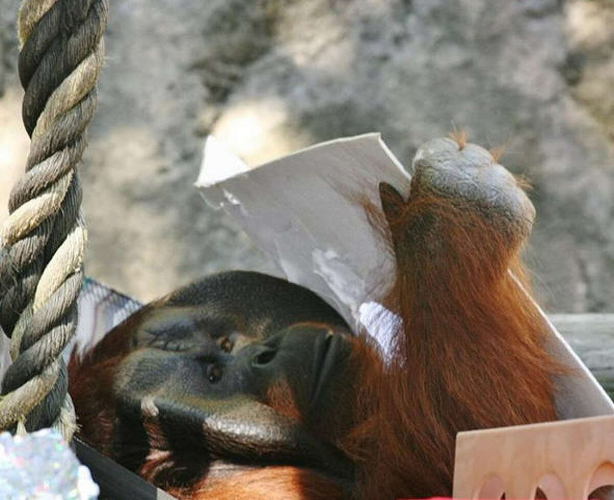 Pumpkin, a 31-year-old male Bornean orangutan, is set to arrive at the Houston Zoo sometime this week from the Jackson Zoo in Jackson, Mississippi.