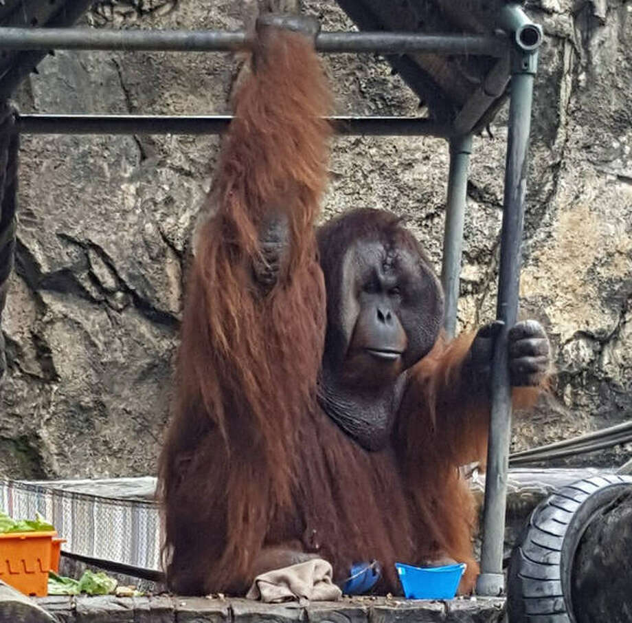 Pumpkin, a 31-year-old male Bornean orangutan, is set to arrive at the Houston Zoo sometime this week from the Jackson Zoo in Jackson, Mississippi. Photo: The Jackson Zoo