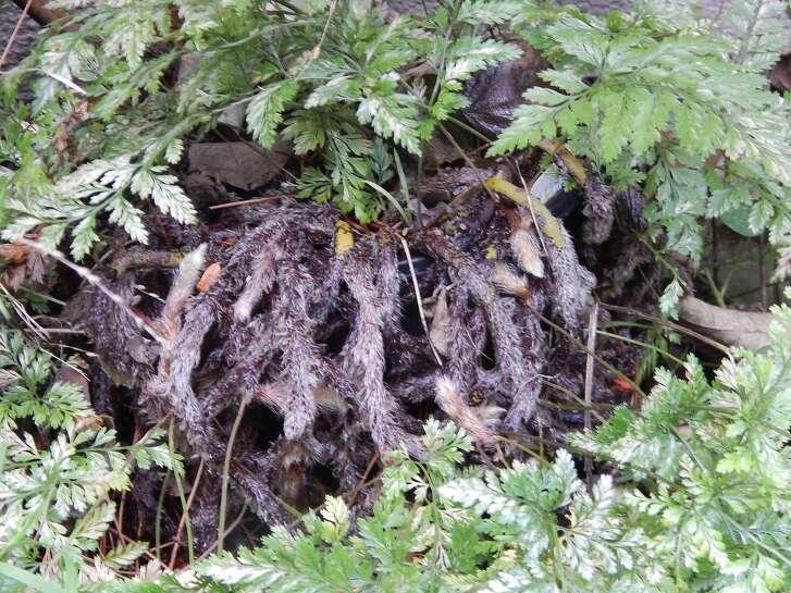 Furry rhizomes on the Rabbit�s Foot fern.  Credit: TKTK