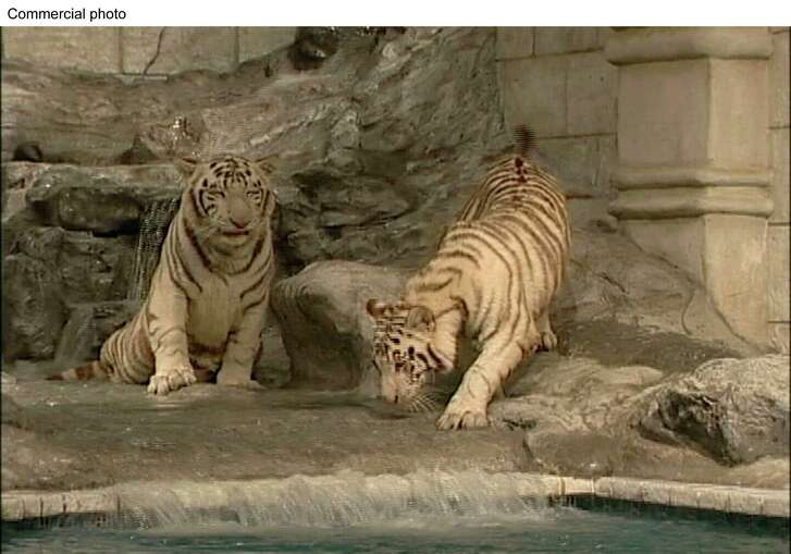White tigers Nero and Marina are seen in their habitat at Downtown Aquarium, which is owned by Landry's Inc.
