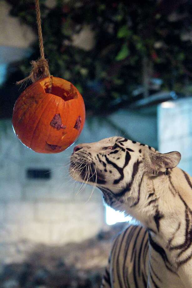 Reef a male white tiger looks to smash a pumpkin filled with meat during the Downtown Aquarium's annual Smash the Squash Friday, Oct. 29, 2010, in Houston. The audience got learn about the enrichment programs the aquarium has for the tigers as they watched the tigers play with their jack-o-lanterns. ( Nick de la Torre / Houston Chronicle ) Photo: Nick De La Torre, Staff / Houston Chronicle