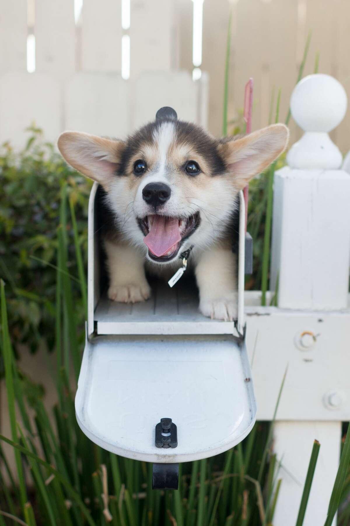 Cute Tricolor Pembroke Welsh Corgi dog smiling inside a mailbox.