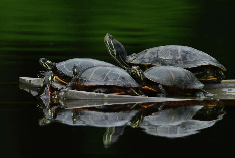 A group of turtles catch some sun atop a floating board in a pond along Route 202 in New Milford, Conn. Wednesay, Aug. 13, 2014. Photo: Tyler Sizemore / Tyler Sizemore / The News-Times