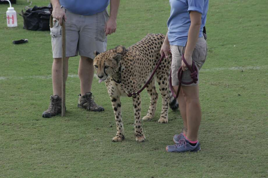 A Houston Zoo employee and a cheetah can be seen at the Houston Sports Park on Nov. 15, 2016. Zoo officials use the Dynamo turf each year to give their cheetahs a chance to run around for a bit. Photo: Houston Dynamo/Courtesy To The Houston Chronicle