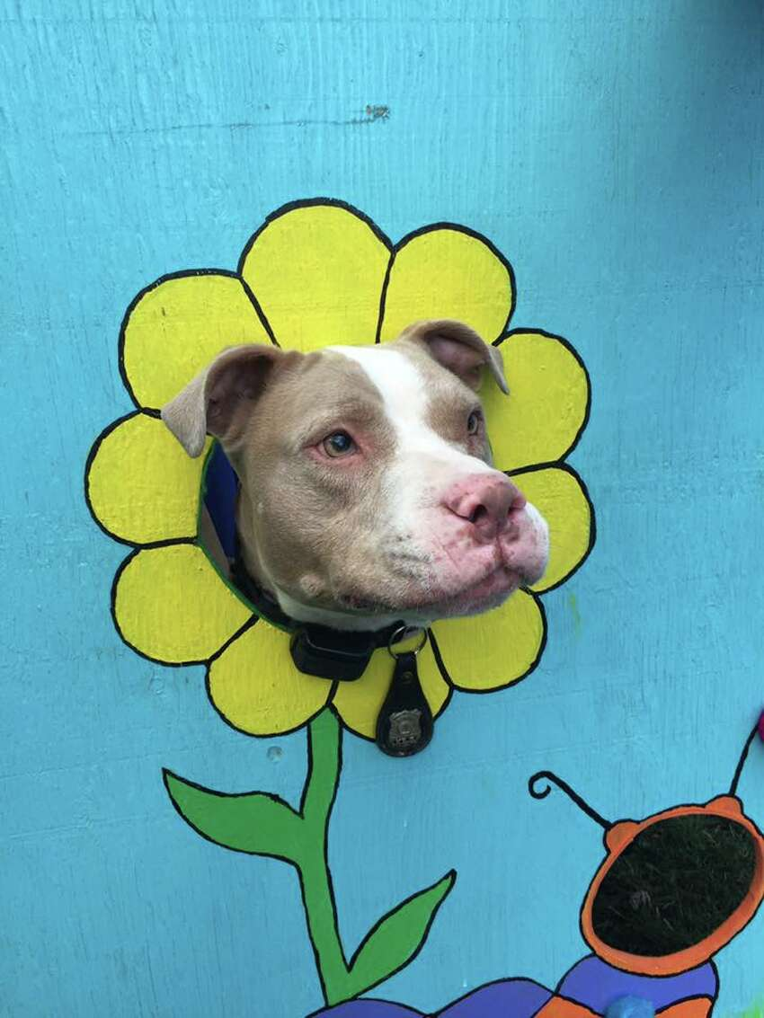 Kiah, who was once abandoned, battered and bloodied on San Antonio-area streets, will receive a New York City honor on Nov. 17 for being the first pit bull police dog in the state after she was relocated their last year.