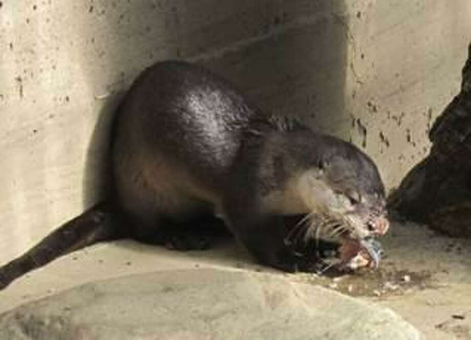 A river otter will return to her home off the Bay shores of Belvedere Thursday morning after Belvedere police found her in late October with abrasions and suffering from head trauma. Photo: Wildcare / / Wildcare /
