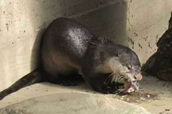 A river otter will return to her home off the Bay shores of Belvedere Thursday morning after Belvedere police found her in late October with abrasions and suffering from head trauma.