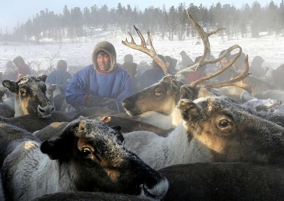 A Nenets herdsman gathers his reindeer as they prepare to leave a site outside the Siberian town of Nadym to find a new place to stay. Photo: TATYANA MAKAYEVA, AFP/Getty Images