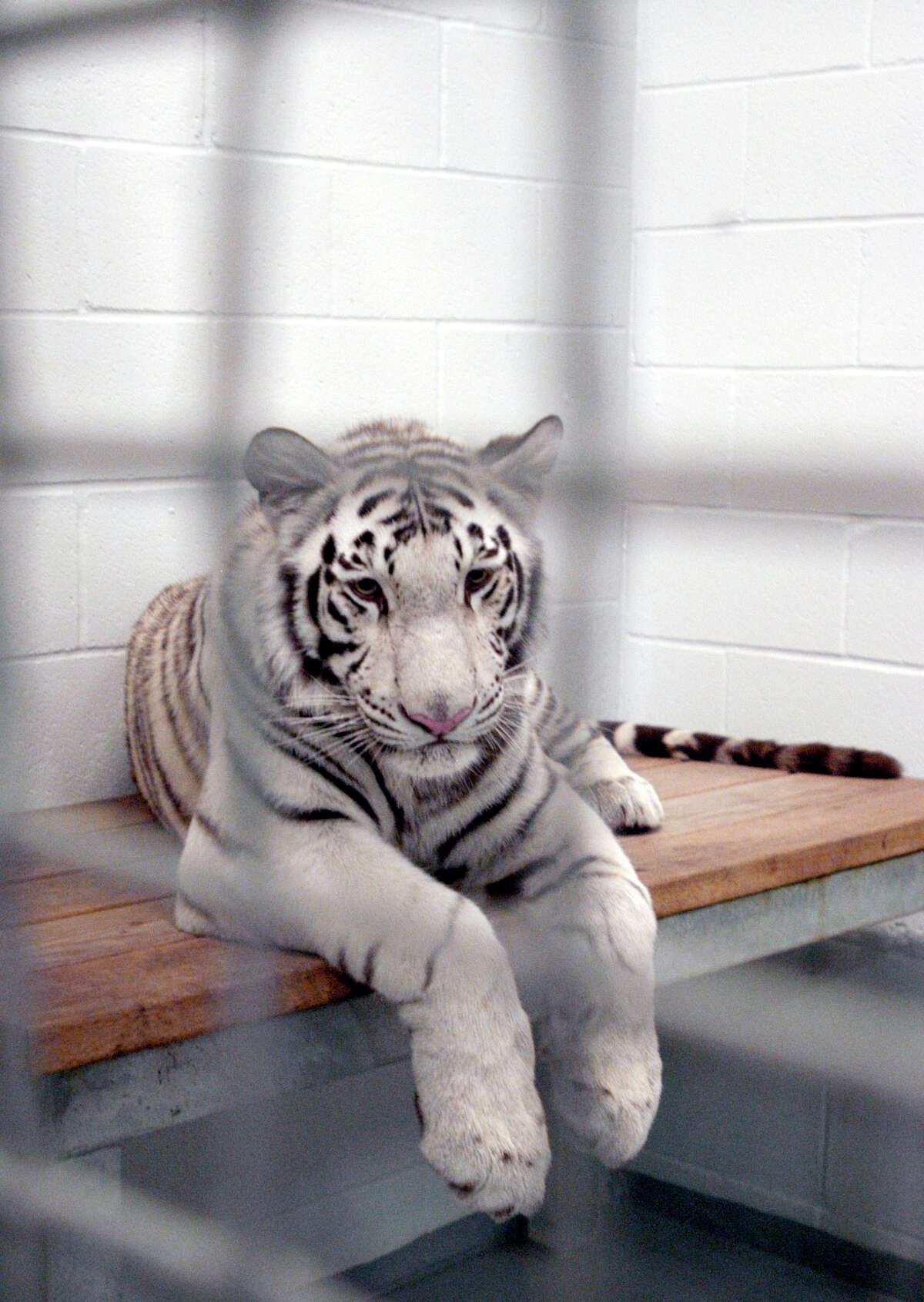 Marina, one of four rare white tigers at the Downtown Aquarium in Houston is shown in her cage.