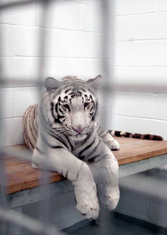 Marina, one of four rare white tigers at the Downtown Aquarium in Houston is shown in her cage. Photo: PAT SULLIVAN, STF / AP