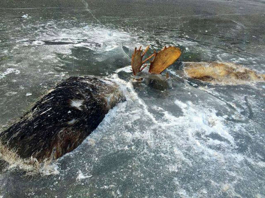 Moose found frozen in Alaskan stream, locked at antlers in fight to the death