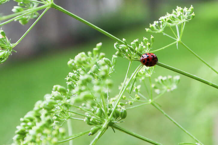 A ladybug enjoys the fernleaf dill plants in Stephanie Lanier's garden on Sunday, May 25, 2014.  MARVIN PFEIFFER/ mpfeiffer@express-news.net