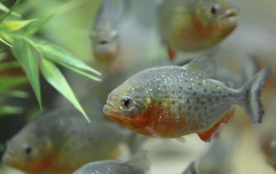 Red-bellied piranhas were among the fish being smuggled in S.F. Photo: EDWARD A. ORNELAS, SAN ANTONIO EXPRESS-NEWS