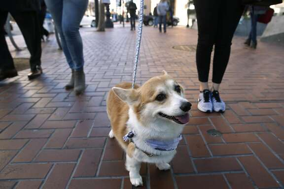 Sneakers the corgi goes for a walk on Market Street with her owner Connie Wu in San Francisco, Calif. on Friday, Nov. 18, 2016. Sneakers has become an internet sensation with over 90,000 Instagram followers.