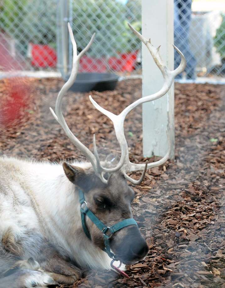The Greenwich Reindeer Festival featuring live reindeer and Santa's Workshop is returning to Greenwich on Nov. 25 but it will be at Sam Bridge Nursery for the first time. Photo: Bob Luckey Jr. / Hearst Connecticut Media / Greenwich Time