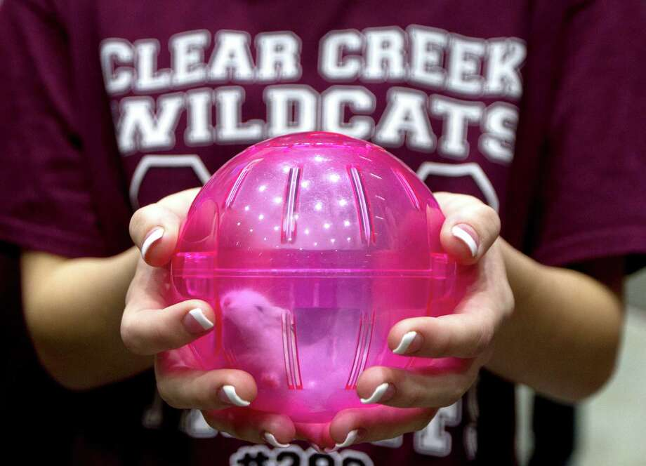 A Clear Creek volleyball player holds unofficial team mascot Hedwig, a dwarf hamster, before the Class 6A state final match against Lewisville Hebron during the UIL State Volleyball Championships at the Curtis Culwell Center Saturday, Nov. 19, 2016, in Garland. Photo: Jason Fochtman, Houston Chronicle / Houston Chronicle