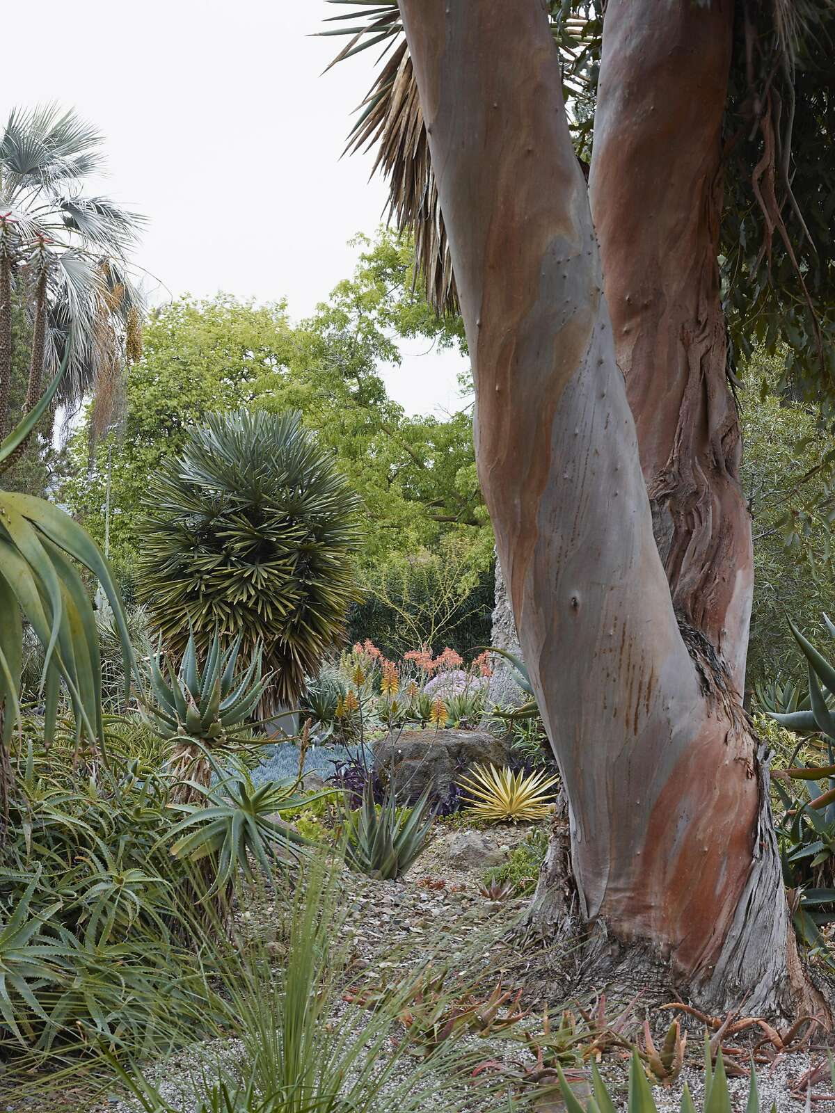 Eucalyptus kitsoniana, a Lester contribution, still stands tall in the garden with gorgeous exfoliating bark. (pg. 218)�--Taken from�The Bold Dry Garden�� Copyright 2016 by Johanna Silver and The Ruth Bancroft Garden. All rights reserved. Published by Timber Press, Portland, OR. Used by permission of the publisher.