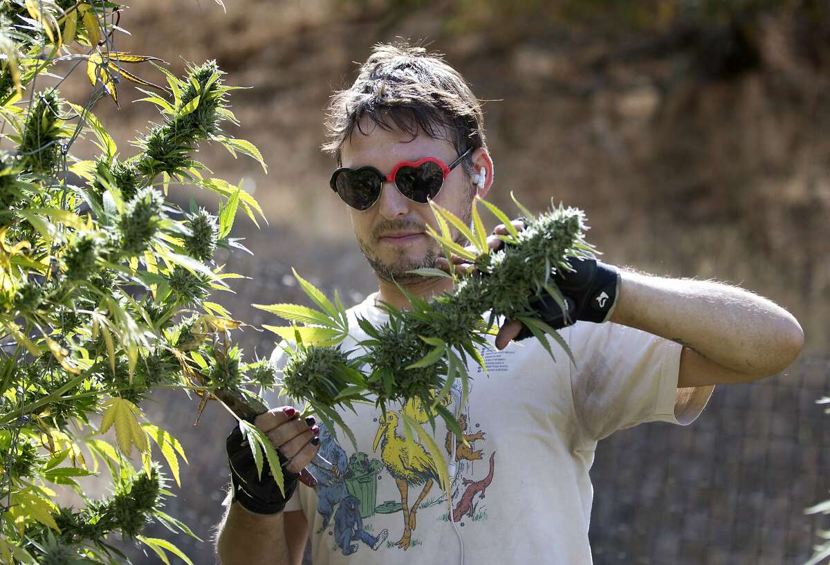 In this Oct. 12, 2016, file photo, Anthony Viator removes a branch of buds from a marijuana plant on a farm near Garberville, Calif.