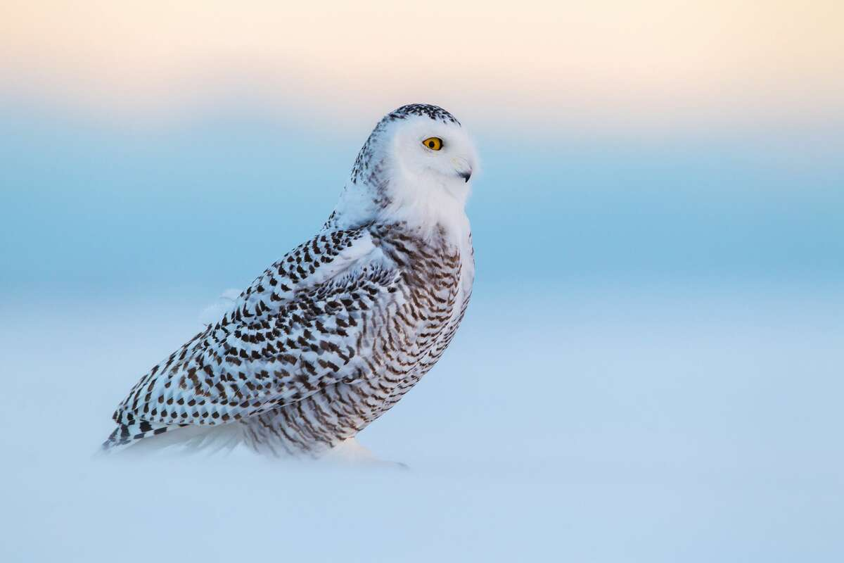 A juvenile snowy owl carefully scans the horizon for competing owls as the blowing snow occasionally obscures the owl. (Onatario)