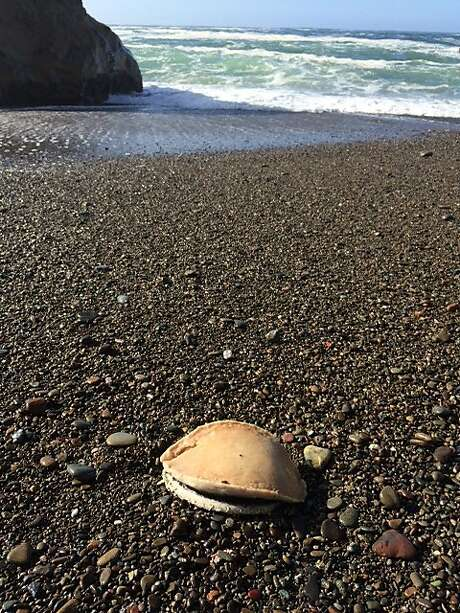 Weakened from lack of food, dead abalone have been washing up on shore after winter storms knock them off rocks. This photo was taken between Fort Ross and Timber Cove in Sonoma County. Photo: Shelby Kawana/California Department Of Fish And Wildlife