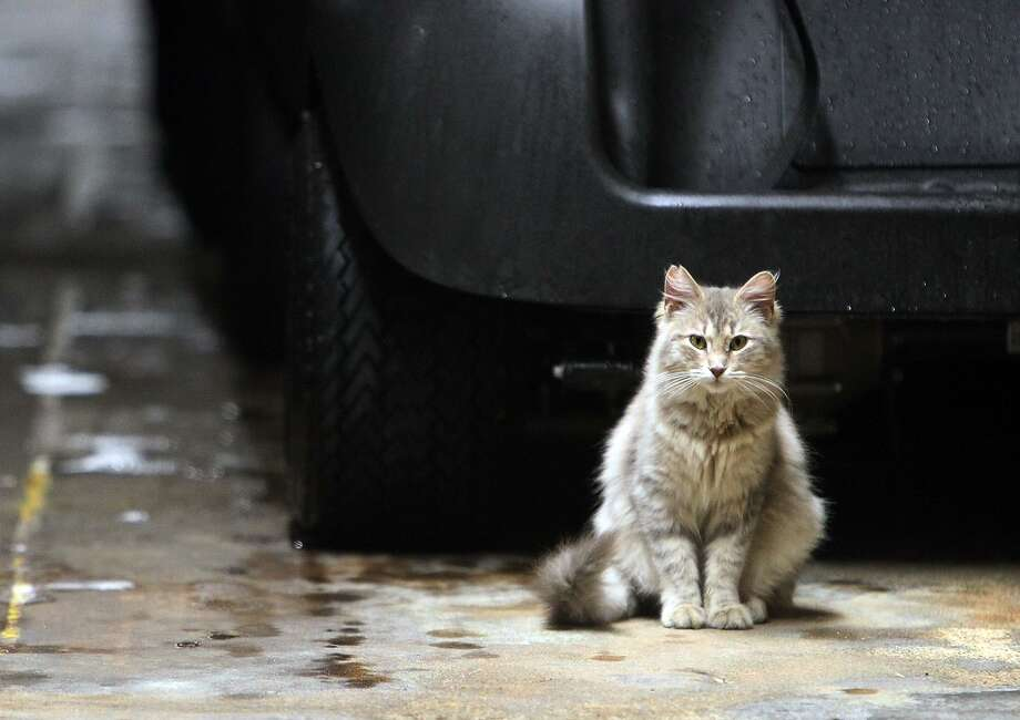 A feral cat named Squeaker sits by a parked golf cart at San Antonio Country Club in 2012. A program that captures, vaccinates and returns them has proven worth. Photo: Kin Man Hui /San Antonio Express-News / San Antonio Express-News