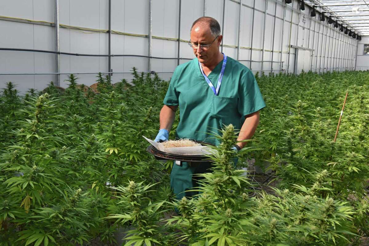 Horticulturalist Chuck Schmitt carries a tray full of lady bugs purposely used to help grow marijuana plants in the greenhouse at the Vireo medical marijuana facility in the Tryon Technology Park on Wednesday, Sept. 21, 2016, in Johnstown, N.Y. (Lori Van Buren / Times Union archive)
