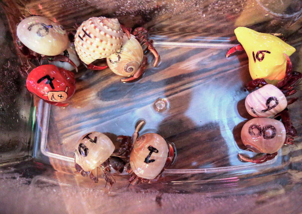 Hermit crabs wait for their next race in a temporary aquarium at Little Woodrows in Eado on Tuesday, Nov. 15, 2016, in Houston. ( Elizabeth Conley / Houston Chronicle )