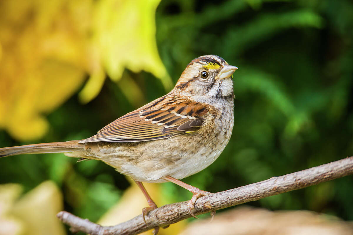 People are drawn to Huntsville State Park in the winter to see songbirds from northern states, like the white-throated sparrow.