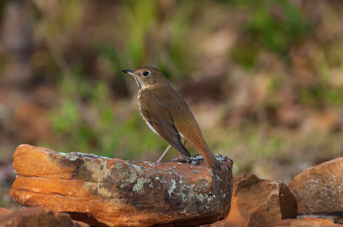 Hermit thrush migrate to Huntsville State Park in the winter from breeding grounds in places like Minnesota and the New England states.