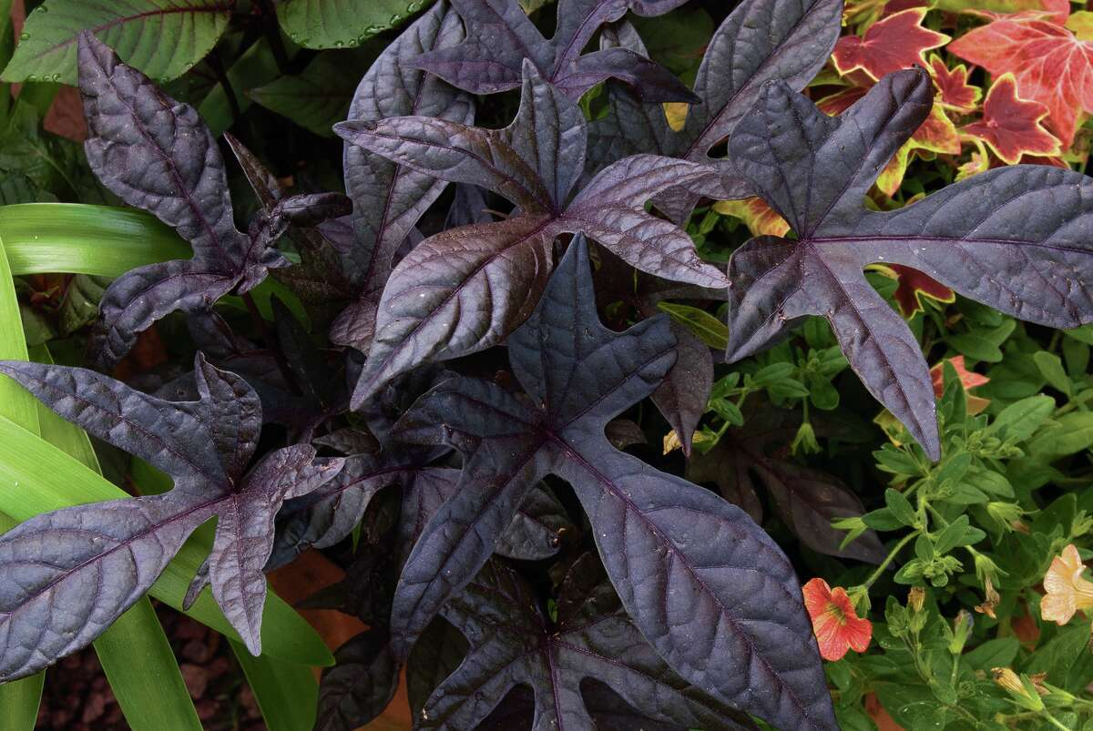 Sweet potato vine (Ipomoea batata) 'Blackie'