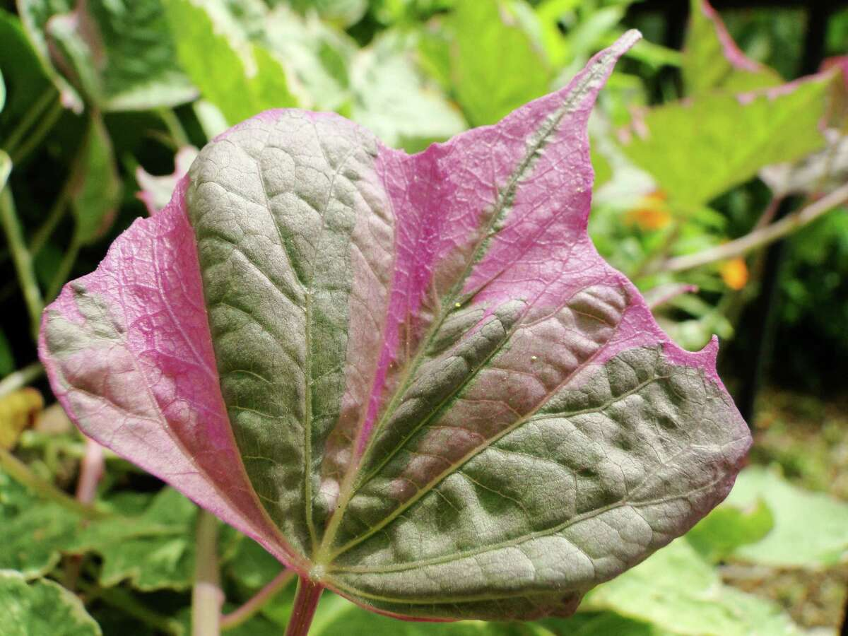 Leaves on the Pink Frost variety of sweet potato vine are mottled with cream and edged in pink. Use in containers as a complement to caladiums or in contrast to plants with dark foliage.