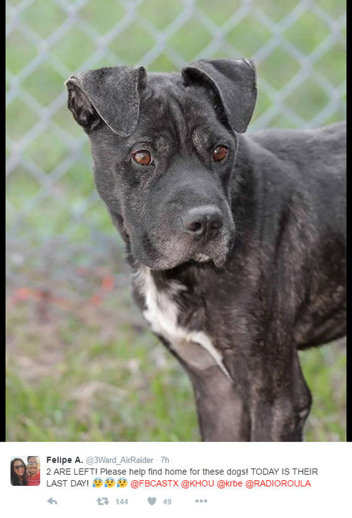 Squishy Face is a 18-month-old Staffordshire terrier/pit bull mix and needs to be adopted by Thanksgiving in order to avoid being put down.