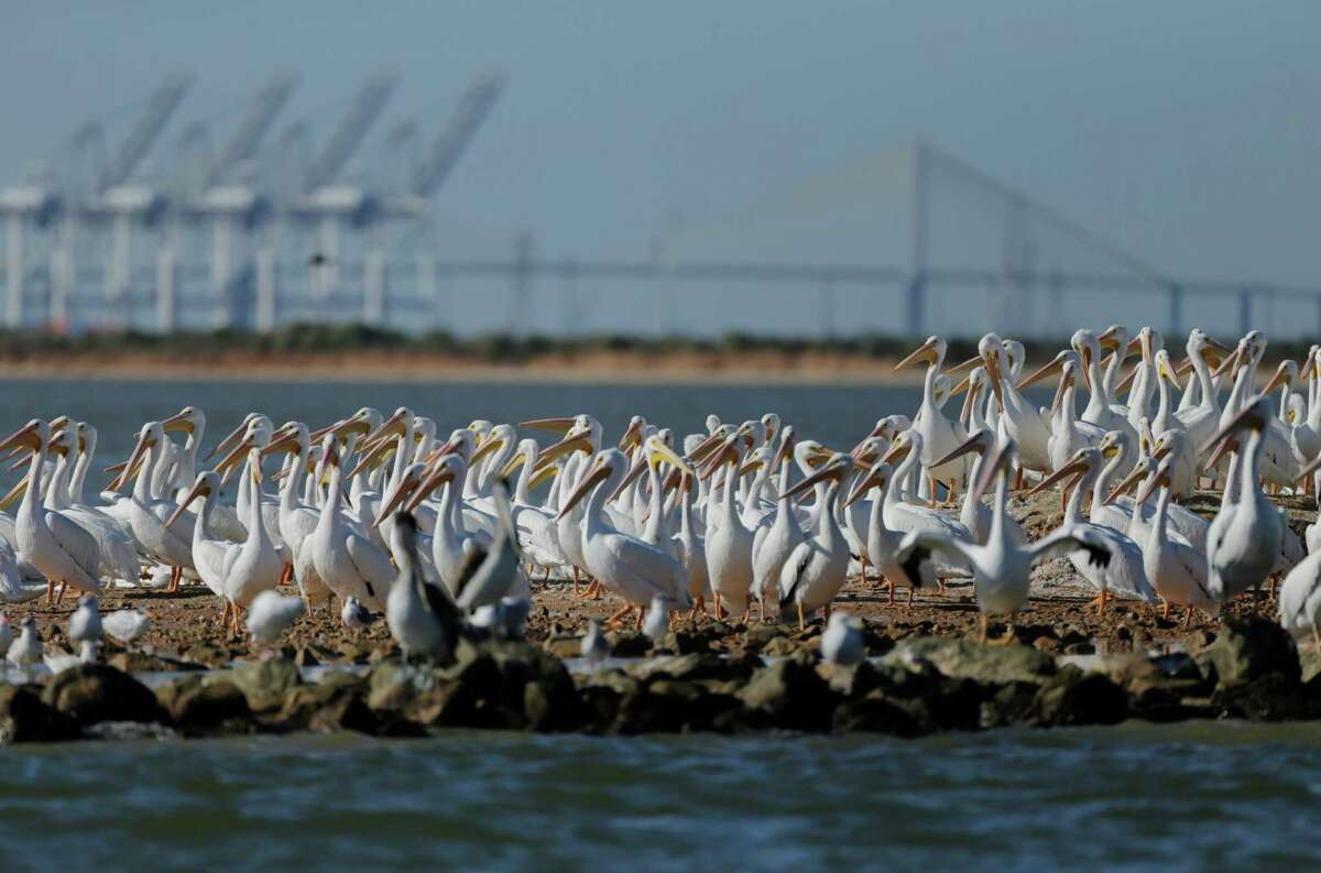 Cranes from the Barbours Cut Container Terminal and the Fred Hartman Bridge can be seen behind a group of pelicans resting on a jetty where dredging material from the Houston Ship Channel is being turned into marshes, Monday, Nov. 21, 2016. The dredged material is being turned into marsh areas in conjunction with containment areas surrounded by levies. ( Mark Mulligan / Houston Chronicle )