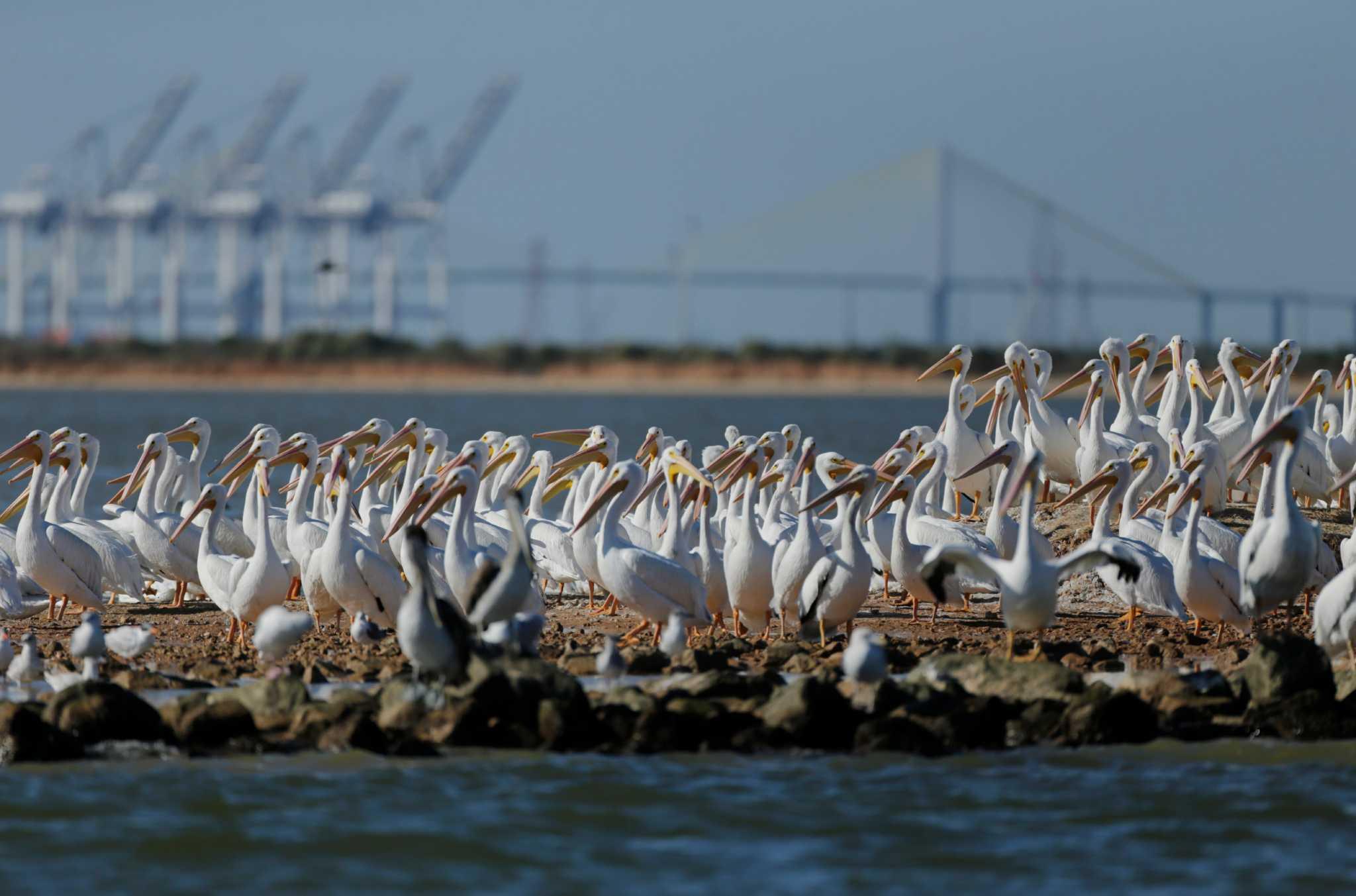Ship Channel Dredging Credited For Jobs Wildlife Habitat