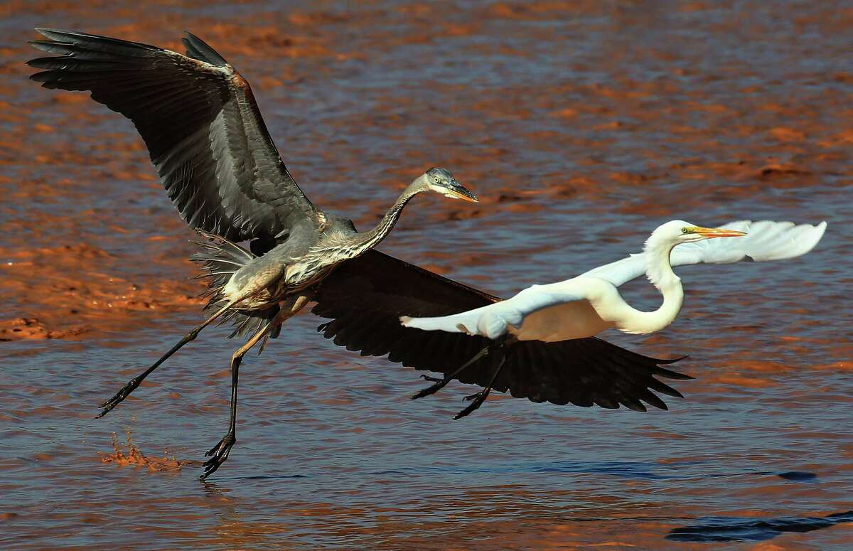 A heron and an egret fly above dredging material along the Houston Ship Channel.