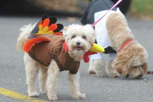 A dog is dressed in a turkey costume at the Shippan Turkey Trot at Shippan Point in Stamford, Conn. Thursday, Nov. 24, 2016. The Thankgiving Day fun run, now in its 16th year, drew about 300 participants dressed in a variety of wacky and holiday-themed costumes. An estimated $10,000 raised by the run goes 100% to meal programs at Stamford's Pacific House.