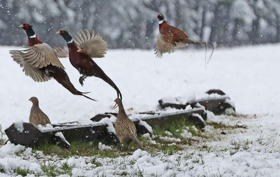 The heavy snow that fell in Northwest Connecticut has delayed the state's pheasant stocking for the hunting season. More than 20 inches of snow fell in that corner of the state on Nov. 20-21, 2016. Photo: Owen Humphreys / Associated Press / PA