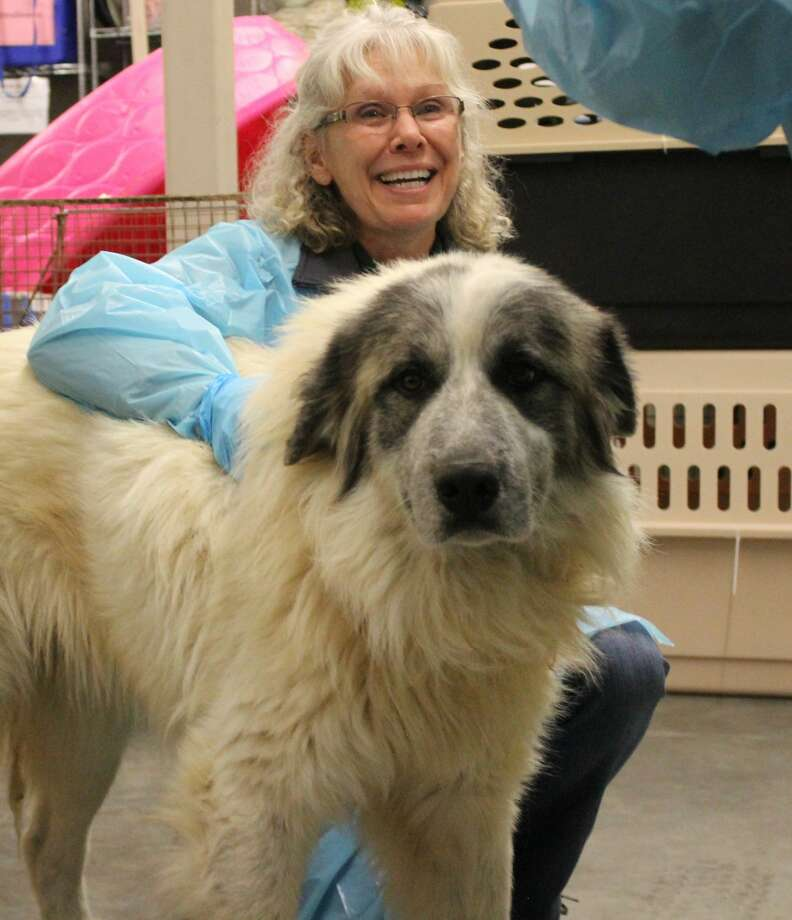 Nearly 80 dogs of various breeds and ages from a north Texas animal shelter have been sent to the Dumb Friends League, an animal shelter in Denver, Colorado. Moving the dogs from the overburdened animal shelter in Texas to Denver may give them a better chance at getting adopted. Photo: Dumb Friends League