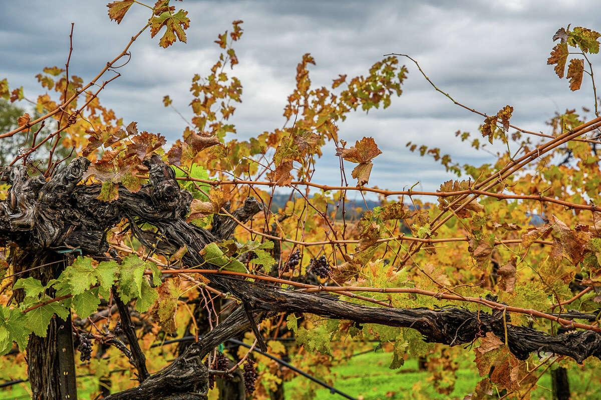 Vineyard, Shenandoah Valley in Amador County.