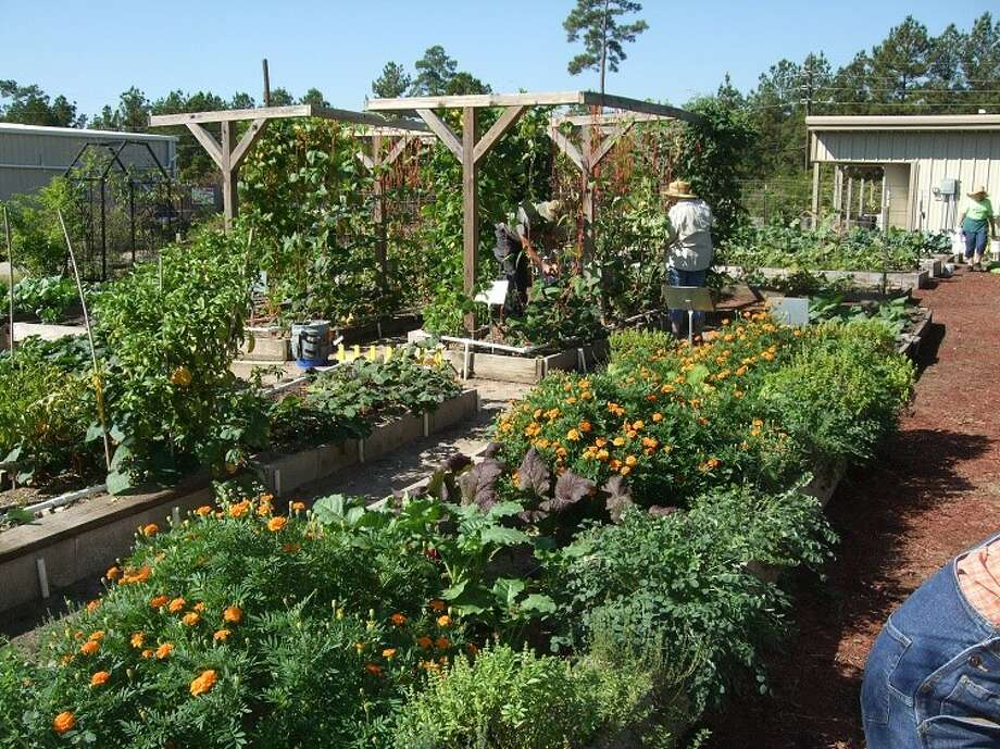 Master Gardeners work in the vegetable demonstration gardens at the Texas AgriLife Extension office in Conroe. Photo: Submitted Photo