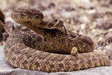 Snakes - Rattlesnake   