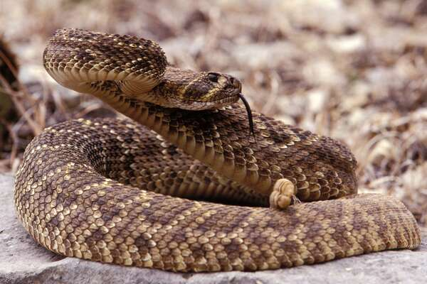 Snakes - Rattlesnake      Found in Houston-area : Yes.    Symptoms of bite : Drooping eyelids, low-blood pressure, tiredness, sweating and chills, nausea and vomiting, swelling of lymph nodes.    Lethal bite : If treated, very rarely/almost never.    Medical attention necessary : Yes.      Source:  Healthline ,  Texas A&M